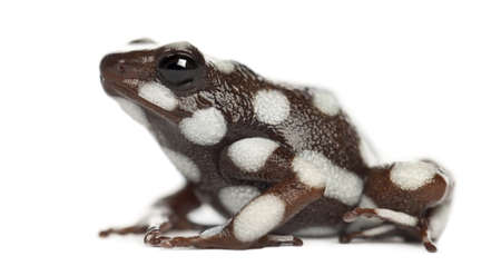 poison frog: Marañón Poison Frog or Rana Venenosa, Ranitomeya mysteriosus, against white background Stock Photo
