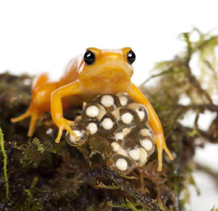 frog egg: Golden Mantella protecting her eggs, Mantella aurantiaca, portrait against white background