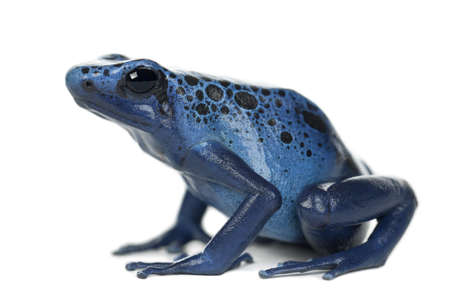 Blue and Black Poison Dart Frog, Dendrobates azureus, against white background Stock Photo