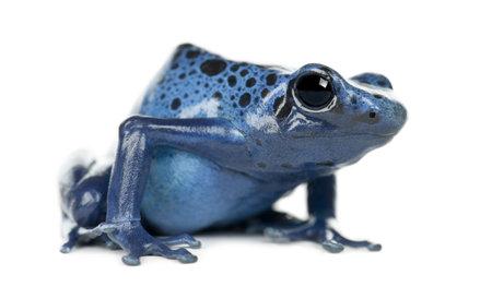 rana venenosa: Veneno Azul y Negro rana, Dendrobates azureus, retrato sobre fondo blanco