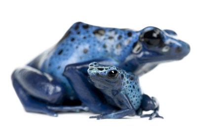 rana venenosa: Mujer Veneno Azul y Negro rana del dardo con el joven, Dendrobates azureus, retrato sobre fondo blanco