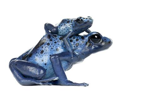 rana venenosa: Mujer Veneno Azul y Negro rana del dardo con el joven, Dendrobates azureus, contra el fondo blanco