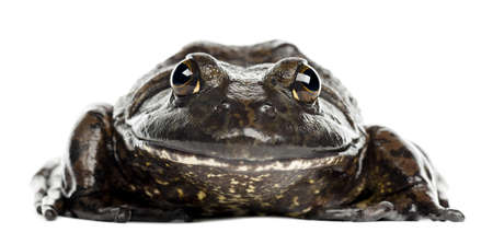 bullfrog: American bullfrog or bullfrog, Rana catesbeiana, portrait against white background Stock Photo