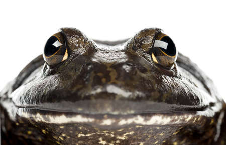 bullfrog: American bullfrog or bullfrog, Rana catesbeiana, portrait and close up against white background Stock Photo