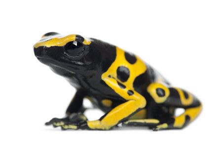 rana venenosa: Amarillo-congregada rana venenosa, tambi�n conocida como rana venenosa de Cabeza Amarilla Dart rana venenosa de Bumblebee, Dendrobates leucomelas, contra el fondo blanco Foto de archivo