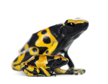 poison frog: Yellow-banded Poison Dart Frogs, noto anche come uno giallo-Headed Frog Veleno Duel Frog veleno Bumblebee, le Dendrobates leucomelas, madre giovane, su sfondo bianco