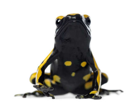 yellow and black poison dart frog: Yellow-Banded Poison Dart Frog, also known as a Yellow-Headed Poison Dart Frog and Bumblebee Poison Frog, Dendrobates leucomelas, against white background