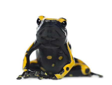 rana venenosa: Amarillo-congregada rana venenosa, tambi�n conocida como rana venenosa de Cabeza Amarilla Dart rana venenosa de Bumblebee, Dendrobates leucomelas, retrato sobre fondo blanco