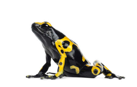 poison frog: Yellow-banded Poison Dart Frog, noto anche come Yellow-Headed Veleno Dart Frog e Poison Frog Bumblebee, Dendrobates leucomelas, su sfondo bianco Archivio Fotografico