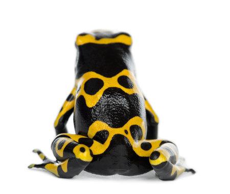 rana venenosa: Vista trasera de una rana venenosa de dardo con banda amarilla, también conocida como rana venenosa de Cabeza Amarilla Dart rana venenosa de Bumblebee, Dendrobates leucomelas, contra el fondo blanco