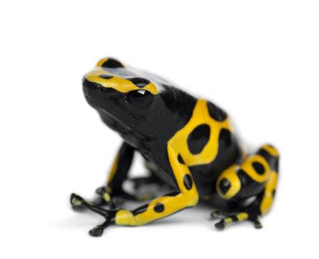 rana venenosa: Amarillo-congregada rana venenosa, también conocida como rana venenosa de Cabeza Amarilla Dart rana venenosa de Bumblebee, Dendrobates leucomelas, contra el fondo blanco Foto de archivo