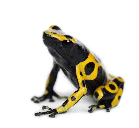 sapo: Amarillo-congregada rana venenosa, tambi�n conocida como rana venenosa de Cabeza Amarilla Dart rana venenosa de Bumblebee, Dendrobates leucomelas, contra el fondo blanco Foto de archivo