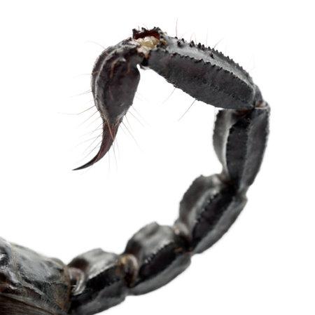 imperator: Emperor Scorpion, Pandinus imperator, close up of tail against white background