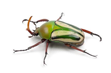 flamboyant: Male Flamboyant Flower Beetle or Striped Love Beetle, Eudicella gralli hubini, against white background Stock Photo