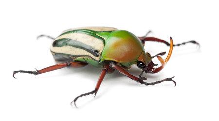flamboyant: Man Flamboyant Flower Beetle of striped Liefde Beetle, Eudicella gralli hubini, tegen een witte achtergrond