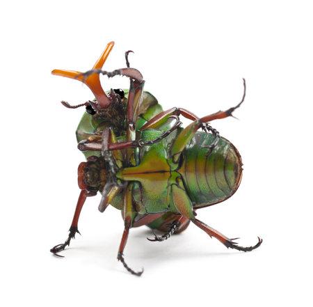 flamboyant: Vechten Flamboyant Flower Kevers of striped Liefde Beetle, Eudicella gralli hubini, tegen een witte achtergrond Stockfoto