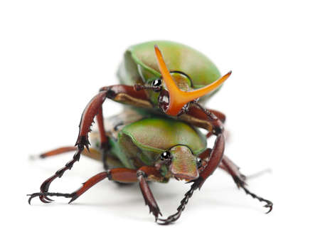 Mating Flamboyant Flower Beetles or Striped Love Beetle, Eudicella gralli hubini, against white background photo