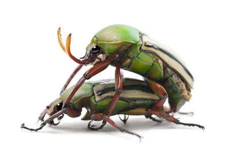 flamboyant: Paring Flamboyant Bloem Kevers of Gestreepte Liefde Beetle, Eudicella gralli hubini, tegen een witte achtergrond Stockfoto