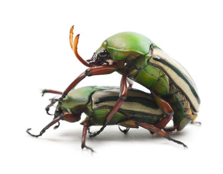 animal mating: Mating Flamboyant Flower Beetles or Striped Love Beetle, Eudicella gralli hubini, against white background Stock Photo