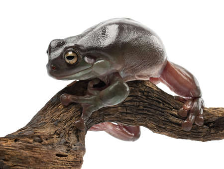 Australian Green Tree Frog, simply Green Tree Frog in Australia, Whites Tree Frog, or Dumpy Tree Frog, Litoria caerulea, against white background photo