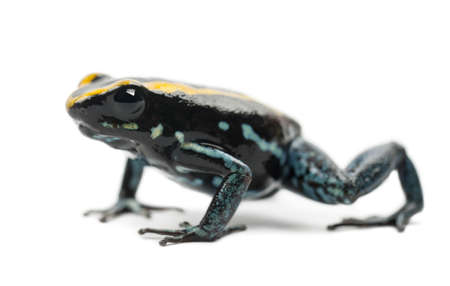 poison frog: Golfodulcean Frog Poison, Phyllobates vittatus, ritratto su sfondo bianco