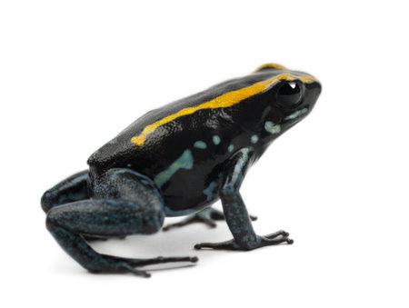 poison frog: Golfodulcean Frog Poison, Phyllobates vittatus, su sfondo bianco