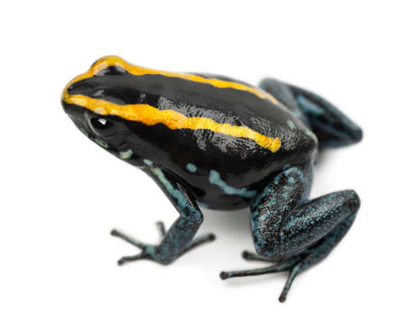 vittatus: Golfodulcean Poison Frog, Phyllobates vittatus, against white background
