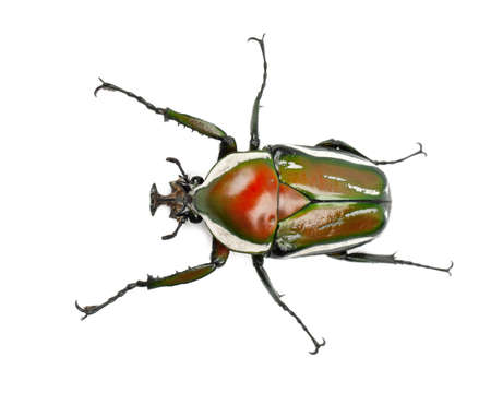 animal themes: Male Derbys Flower Beetle, Dicronorrhina derbyana layardi, a species of beetles, against white background