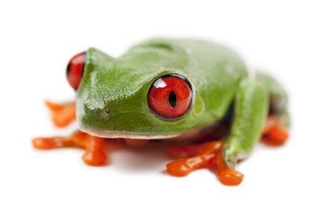 callidryas: Red-eyed Treefrog, Agalychnis callidryas, portrait against white background