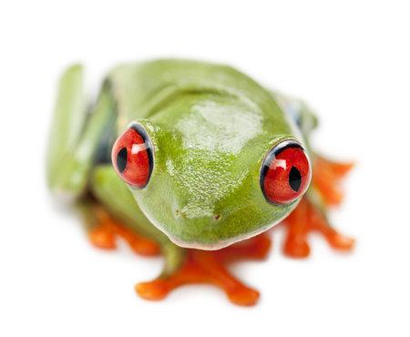 callidryas: Red-eyed Treefrog, Agalychnis callidryas, portrait and close up against white background