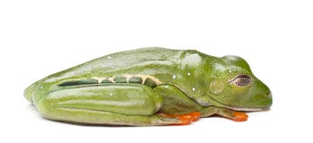 agalychnis: Red-eyed Treefrog, Agalychnis callidryas, against white background
