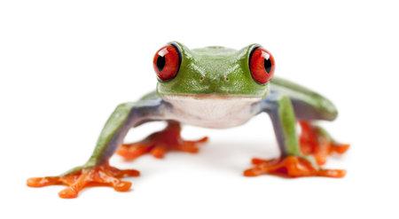 agalychnis: Red-eyed Treefrog, Agalychnis callidryas, portrait against white background