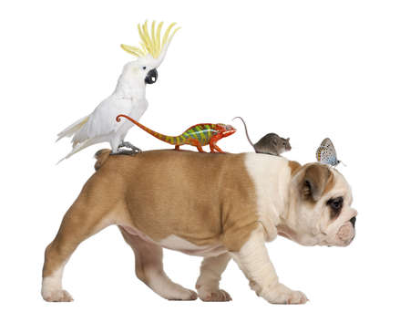 English Bulldog puppy, 2 months old, carrying toucan, chameleon, rat and butterfly walking against white background photo