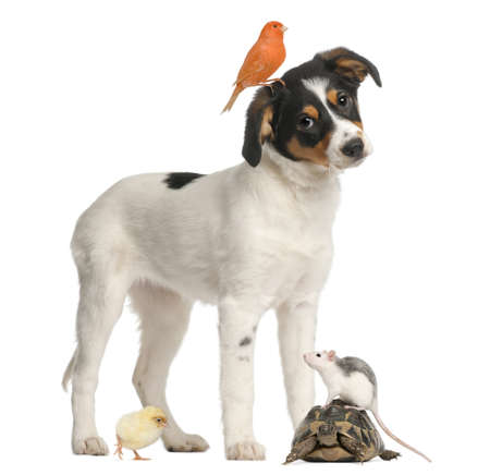 medium shot: Mixed breed puppy, canary, chick, turtle and rat against white background
