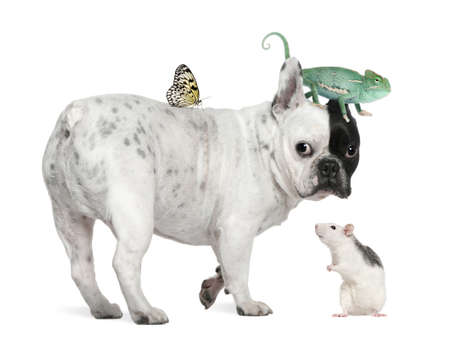 French bulldog with chameleon, rat and butterfly against white background