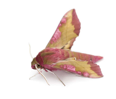 Elephant Hawk, moth, Deilephila elpenor, against white background photo