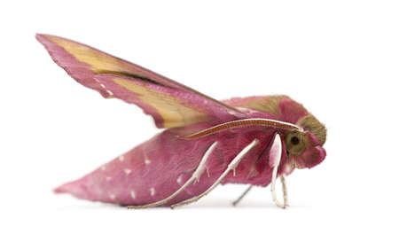 Elephant Hawk, moth, Deilephila elpenor, against white background Stock Photo - 15251625