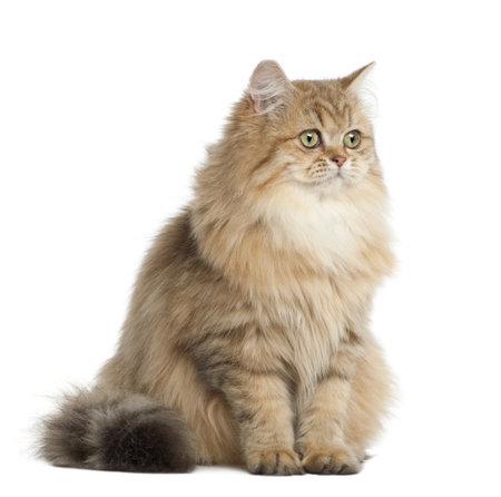 vertebrate: British Longhair cat, 4 months old, sitting against white background