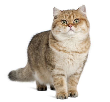 british shorthair: Golden shaded British shorthair, 7 months old, standing against white background