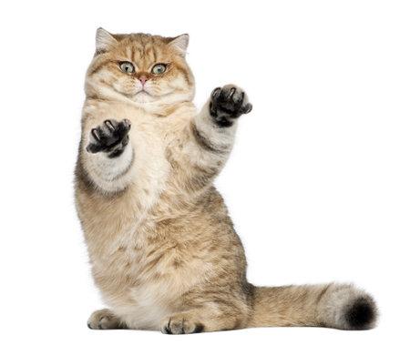 kotów: Złoty zacienione Brytyjski krótkowłosy, 7 miesięcy, siedząc białym tle Zdjęcie Seryjne