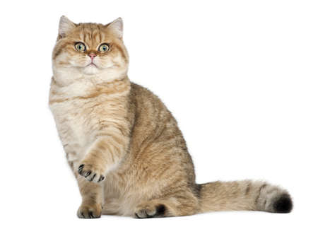 british shorthair: Golden shaded British shorthair, 7 months old, sitting against white background