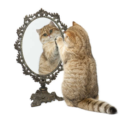 rear view mirror: Golden shaded British shorthair, 7 months old, playing with mirror against white background Stock Photo