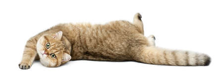 cats playing: Golden shaded British shorthair, 7 months old, lying against white background