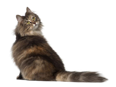 furry tail: Norwegian Forest Cat, 1 and a half years old, sitting against white background