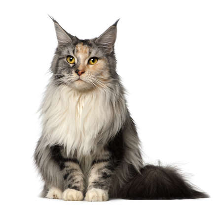 Maine Coon, 2 years old, sitting against white background Stock Photo