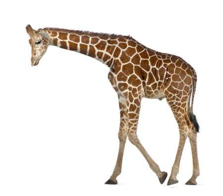Somali Giraffe, commonly known as Reticulated Giraffe, Giraffa camelopardalis reticulata, 2 and a half years old walking against white background Stock Photo - 15251326