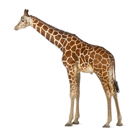 Somali Giraffe, commonly known as Reticulated Giraffe, Giraffa camelopardalis reticulata, 2 and a half years old standing against white background Stock Photo - 15251449