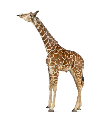 Somali Giraffe, commonly known as Reticulated Giraffe, Giraffa camelopardalis reticulata, 2 and a half years old standing against white background Stock Photo - 15251487