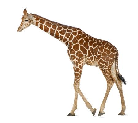 somali: Jirafa somal�, com�nmente conocida como la jirafa reticulada, Giraffa camelopardalis reticulata, 2 a�os y medio de edad caminando contra el fondo blanco Foto de archivo