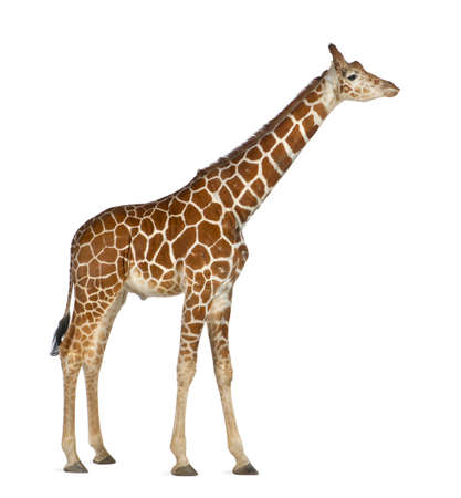 Somali Giraffe, commonly known as Reticulated Giraffe, Giraffa camelopardalis reticulata, 2 and a half years old standing against white background Stock Photo - 15251443